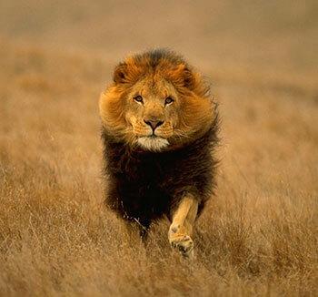 lion-sila-duha-nov