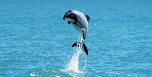 delphin-maui