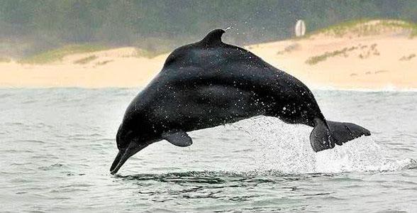 gorbaty-delfin-zapadno-africanskiy