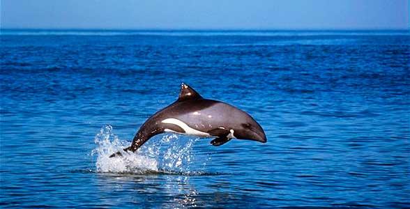 heavisides-dolphin-leaping