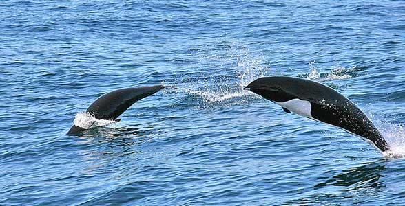kitovidniy-delfin