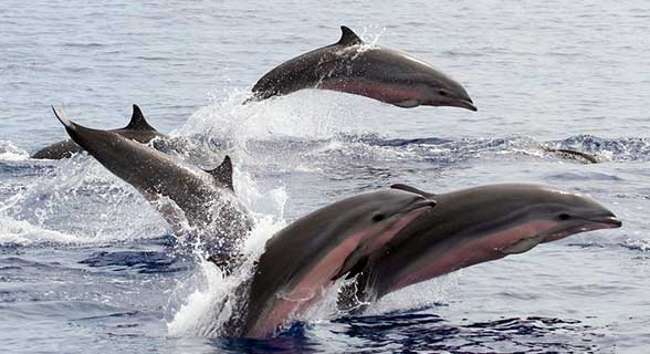 malaziyskiy-delfin