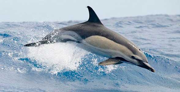 polosaty-delfin