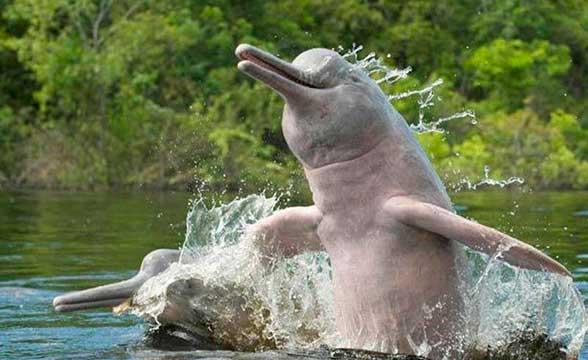 rechnye-delphiny